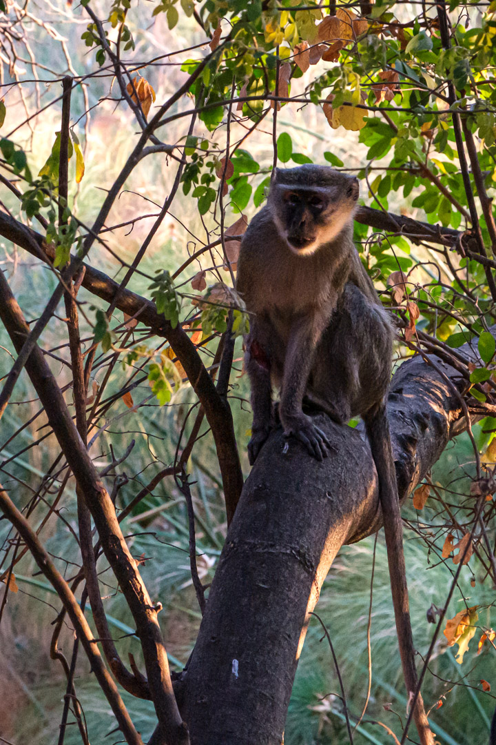 20.9.2019 - Drotsky's Camp, #11 - Vervet Monkey