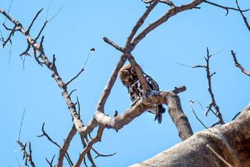 20.9.2019 - Tsodilo Hills, Rhino Trail - Pearl-spotted Owlet