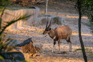 20.9.2019 - Xaro Lodge - Bushbuck