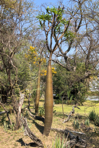 21.9.2019 - Xaro Lodge, Morning Walk - die namensgebende Xaro Palme