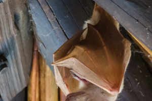 21.9.2019 - Xaro Lodge - Peter's Epauletted Fruit-bat