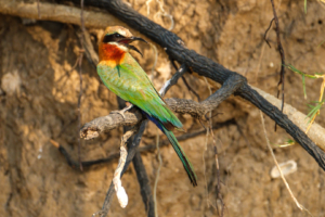 21.9.2019 - Xaro Lodge, Boat Tour - White-fronted Bee-eater