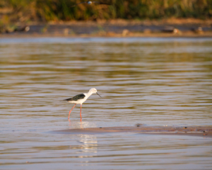 21.9.2019 - Xaro Lodge, Boat Tour - Black-winged Stilt