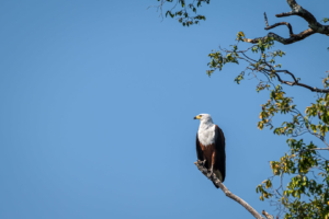 22.9.2019 - Xaro Lodge, Boottransfer - African Fish Eagle