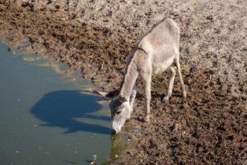 23.9.2019 - Old Bridge - Esel trinkt im Croc- und Hippo-Pool