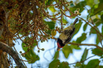 23.9.2019 - Old Bridge - Black-collared Barbet