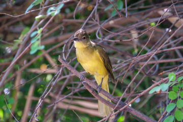23.9.2019 - Old Bridge - Yellow-bellied Greenbul