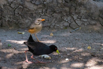 23.9.2019 - Old Bridge - Kurrichane Thrush und Black Crake