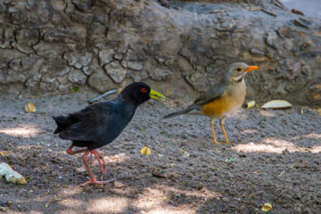 23.9.2019 - Old Bridge - Black Crake und Kurrichane Thrush