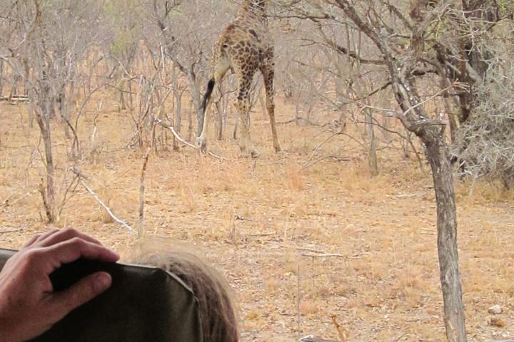 Giraffe beim Game Drive