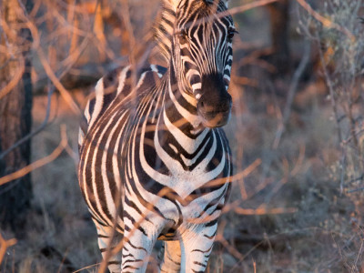 Zebra in der Abendsonne