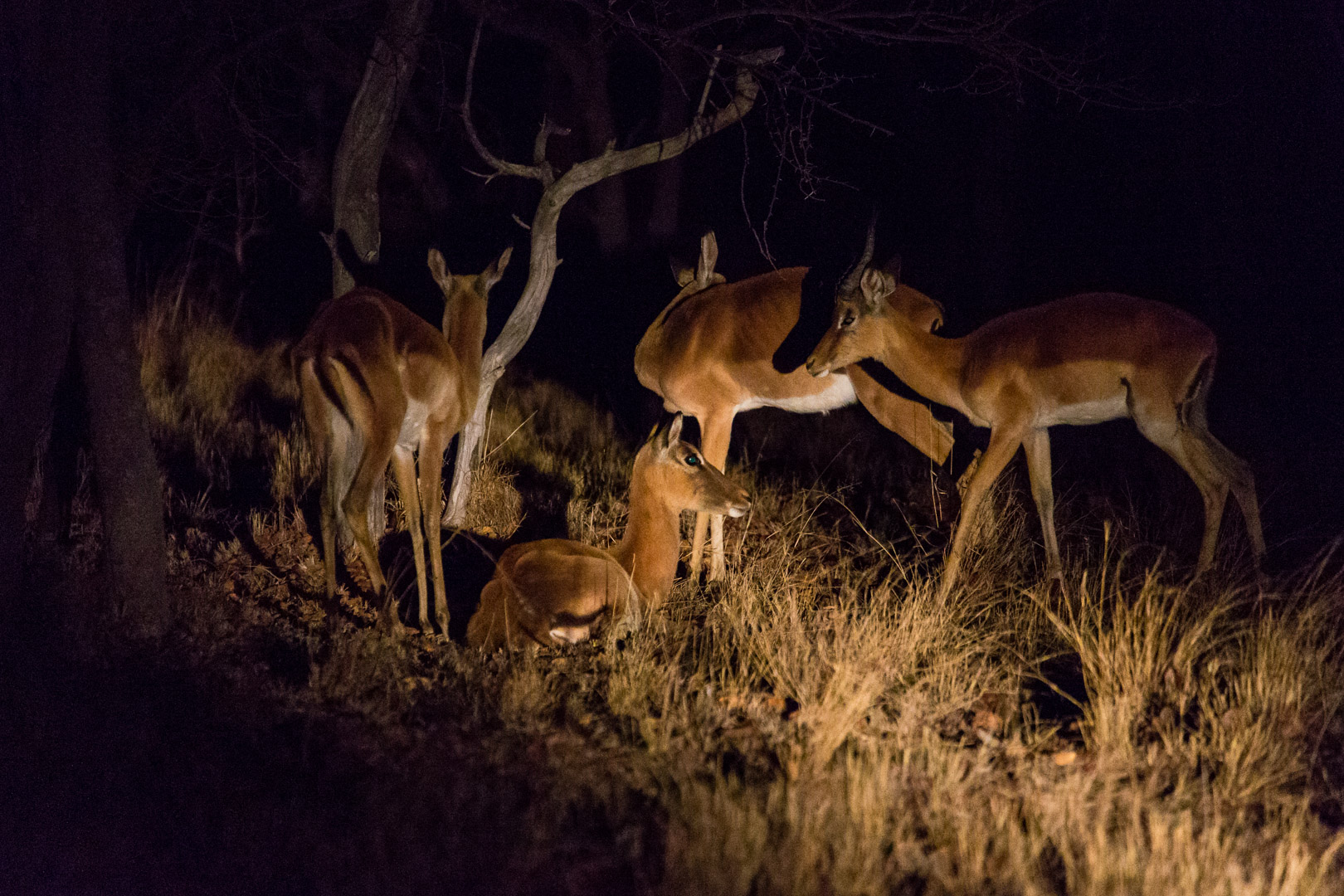 Night Drive: Impalas