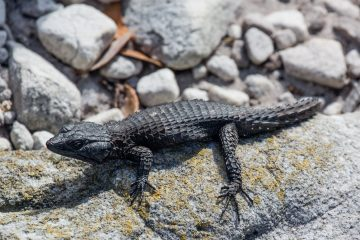 29.10. Cape Tour, Black girdled Lizard