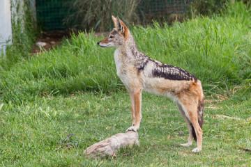 """30.10. Cheetah Outreach - Schabrackenschakal (""""Black-backed Jackal"""")"""