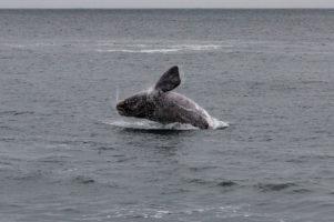 31.10.2013 Hermanus. Wale :-)  (Südkaper)