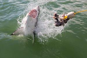 1.11.2013 Weiße Haie !