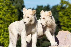 16.8.2013 Weiße Löwen