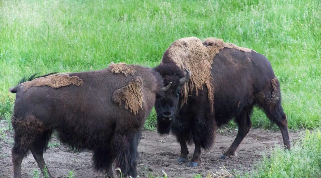 17.7. Lamar Valley - jede Menge Büffel