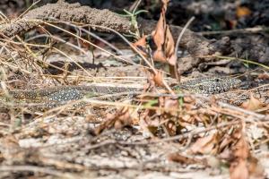 15.7. Zambezi Kayak Tour, Water Monitor Lizard