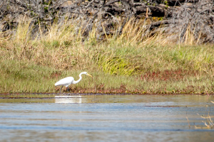 15.7. Zambezi Kayak Tour, Reiher