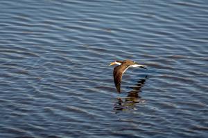 16.7. Chobe River Sunset Tour - African Skimmer