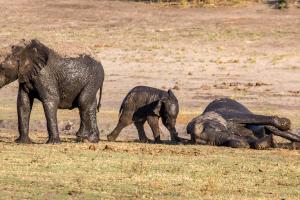 16.7. Chobe River Sunset Tour - Elefanten