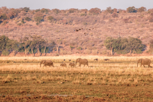 16.7. Chobe River Sunset Tour - Elefanten und ägypt. Gänse