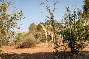17./18.7. Chobe NP, River Drive nach Ihaha - Giraffe