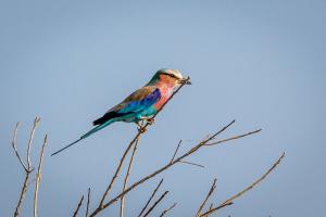 17./18.7. Chobe NP, River Drive nach Ihaha - Lilac-breasted Roller