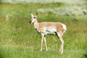 18.7. Lamar Valley - Pronghorns