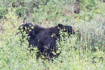18.7. Tower/Roosevelt Area - Black Bear