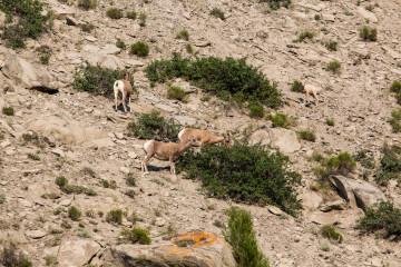 18.7. Tower/Roosevelt Area - Bighorn Sheep