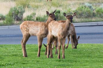 19.7. Mammoth - Elks