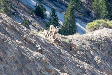 20.7. Yellowstone Picnic Area Trail - Bighorn Sheep