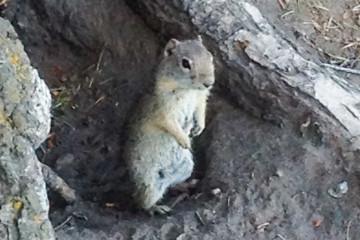 20.7. Yellowstone Picnic Area Trail - Chipmunk