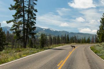 20.7. Ein Coyote auf dem Weg nach Canyon