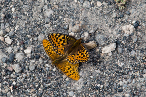21.7. Old Faithful Area - Upper Geyser Basin - Schmetterling