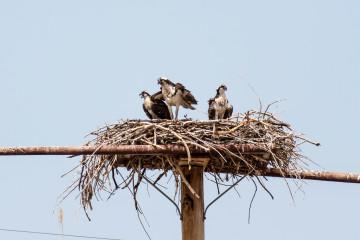 23.7. Flaming Gorge SP - Ospreys mit Jungen