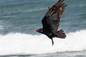 13.-15.7. MacKerricher SP - Turkey Vulture