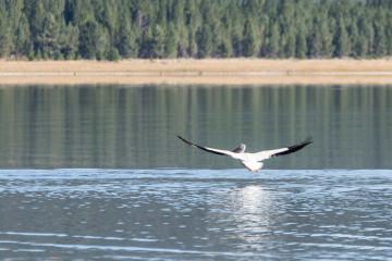 20.-22.7. Eagle Lake - White Pelican