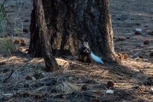 27.7. Grand Canyon North Rim - Kaibab Squirrel
