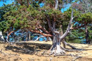 31.7.2017 - Madrone Tree, Spieden Island