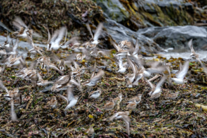 9.8.2017 - Olympic NP, Rialto Beach: Western and Least Sandpipers