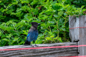 11.8.2017 - Olympic NP, Kalaloch Campground, Stellars Jay