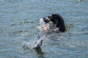 13.8.2017 - Astoria, Seelöwen am Pier 36 - Streit mit den Möwen um den Fisch