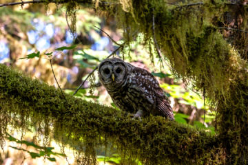 17.8.2017 - Paradise in Oregon, Spotted Owl