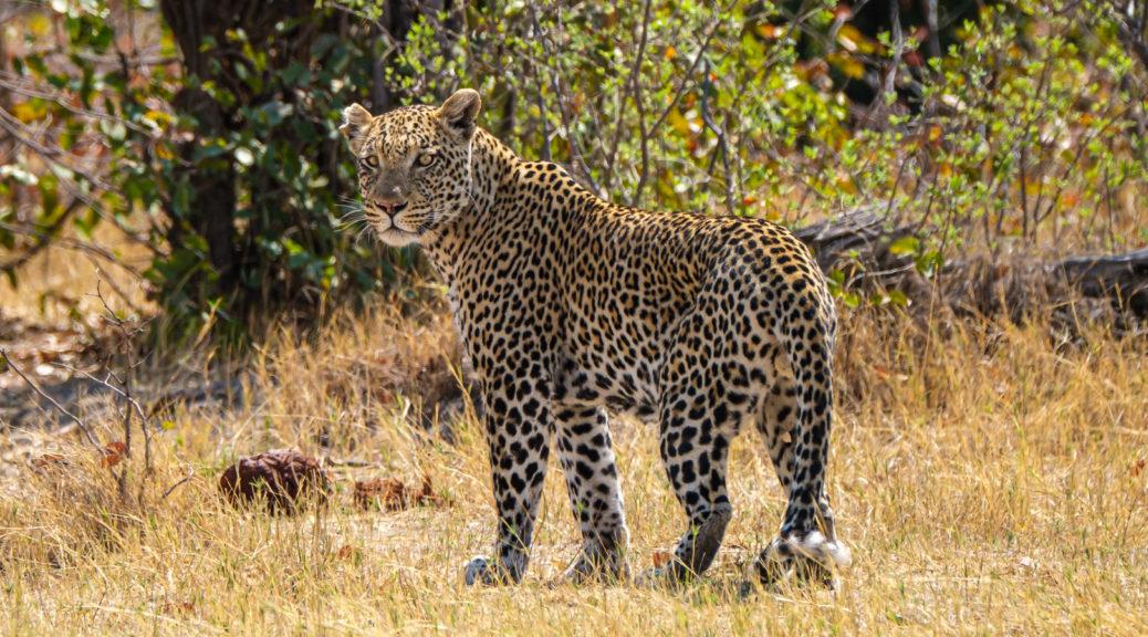 7.9.2019 - Moremi, Bodomatau Lagoon - Leopard