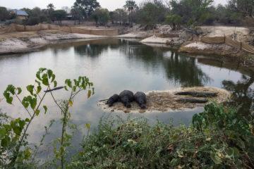 """30.8.2019 - Das """"Old Bridge"""" in Maun - Hippos und Krokodile im kläglichen Rest des Thamalakane-River"""