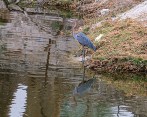 31.8.2019 - Wildlife im Old Bridge - Goliath Heron