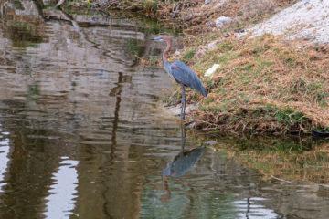 31.8.2019 - Wildlife im Old Bridge - Goliath Heron
